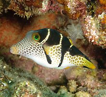 Clown toby - Canthigaster valentini by Andrew Trevor-Jones