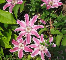 My Clematis. by Heather Goodwin