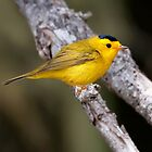 Wilson&#x27;s Warbler by Martin Smart