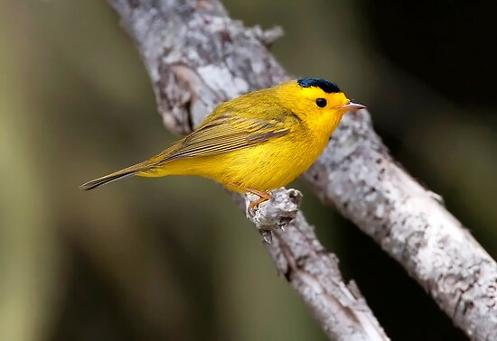 Wilson's Warbler by Martin Smart