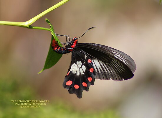Red bodied swallow-tail by robmac