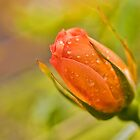 Morning Rose by Ray Clarke