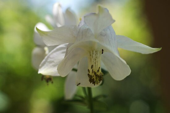 White Columbine by marens