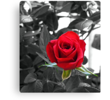 Miniature Rose Bud - Mother's Day Canvas Print