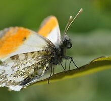 Male Orange Tip by Tony4562