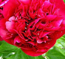 Peony after Rain by Malcolm Chant