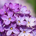 Lilac by vbk70