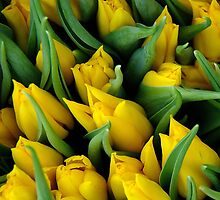 Tulips. II by Bluesrose