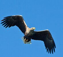 White tailed sea eagle  by Shaun Whiteman