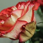 The days of the rose are numbered by karina5