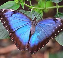 Blue Morpho Butterfly by Steve