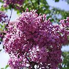 Lilac in bloom by MONIGABI