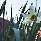 Narcissus by MONIGABI