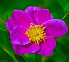 Wild Rose At Dawn by Lee Hiller-London