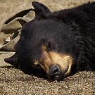 Let Sleeping Bears Lie by Pam Hogg