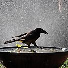 Currawong by Bryan Cossart