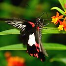 Great Mormon butterfly by Steve