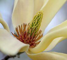 Elizabeth Magnolia Blossoms by okcandids
