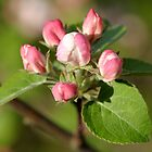 (dwarf) Apple tree blossom by the golden light by okcandids
