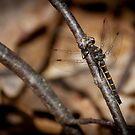 Ringed Boghaunter Dragonfly by Steve Borichevsky