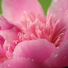 just opened peony by ANNABEL   S. ALENTON
