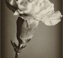 Carnation by ehphotography