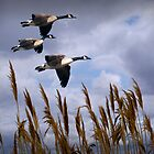 Geese coming in by Randall Nyhof