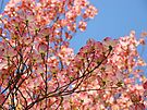 Trees art Pink Dogwood Tree Flowers Blue Sky Baslee Troutman by BasleeArtPrints