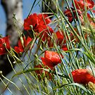 Tuscan poppy(in Tuscany -Italy) by bertipictures