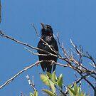 Blackbird resting by Bonnie Pelton