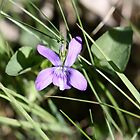 Common Dog-violet by dilouise