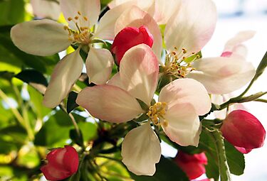 Apple Blossom Time by Linda  Makiej