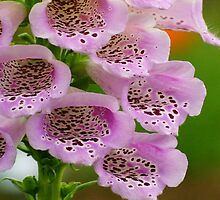 FoxGloves in Lilac by kellimays