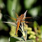 scarce chaser by bigjoeman07