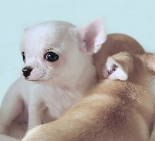Sweet chihuahua puppies by MayJ