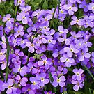 Purple rock cress by PhotosByHealy