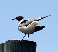 Just Landed ~ Laughing Gull  by AuntDot