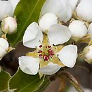 Pear Blossom by dilouise