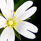 White Petal by Llawphotography