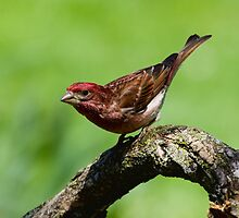 Purple Finch by Wayne Wood