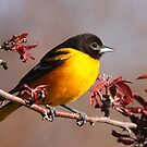 Baltimore Oriole In Crabapple by naturalnomad