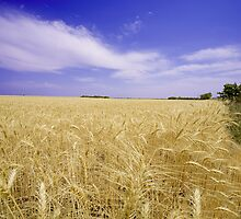 Amber Waves of Grain by StonePics