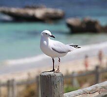 Marmion Marine Park Seabird by Robert Stephens