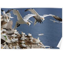 Gannets hovering over the colony, Saltee Island, County Wexford, Ireland Poster