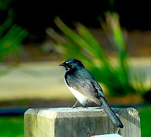 Willy Wagtail by waxyfrog