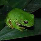 Green Tree Frog by KeepsakesPhotography Michael Rowley