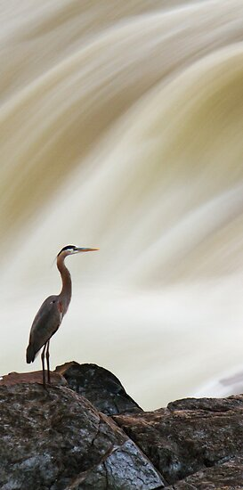 The Great Heron - Great Falls, MD by Matthew Kocin