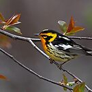Blackburnian Warbler by Jim Cumming