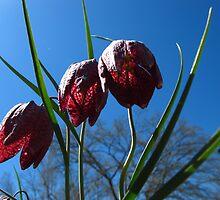 Amenone hybrida Robastissima by MarianBendeth