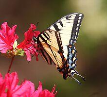Swallowtail Enjoying A Feast by daphsam